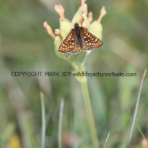 Marsh Fritillary (9)