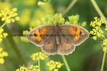 Meadow Brown 444 (2)