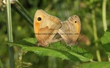 Meadow Brown 55 (1)