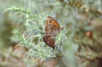 Meadow Brown & Ringlet mating