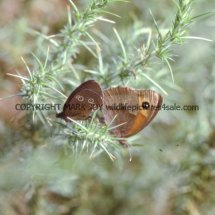 Meadow Brown and Ringlet mating