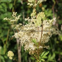 Meadow Sweet (Filipendula ulmaria) (1)