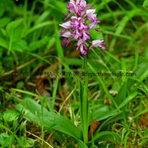 Military Orchid Orchis militaris 18.5.17 (11)