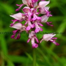 Military Orchid Orchis militaris 18.5.17 (14)