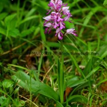 Military Orchid Orchis militaris 18.5.17 (15)