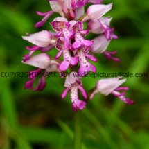 Military Orchid Orchis militaris 18.5.17 (6)