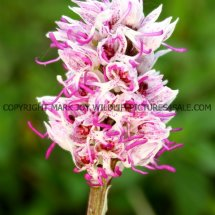 Monkey Orchid (Orchis simia) 11.5.2017 (1)