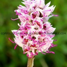Monkey Orchid (Orchis simia) 11.5.2017 (3)