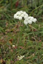 Moon Carrot at Knocking Hoe NNR Pegsdon
