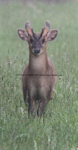Muntjac Deer (1)