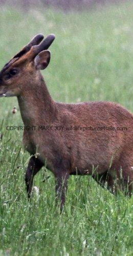 Muntjac Deer (2)