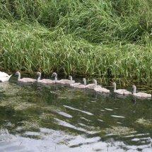 Mute Swan (1)