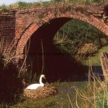 Mute Swan (3)