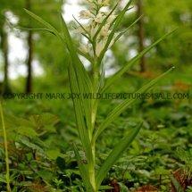 Narrow or Sword Leaved Helleborine (Cephalanthera longifolia) 11.5.17 (2)