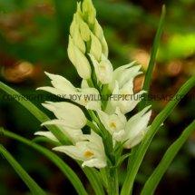 Narrow or Sword Leaved Helleborine (Cephalanthera longifolia) 11.5.17 (3)