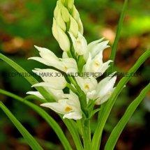 Narrow or Sword Leaved Helleborine (Cephalanthera longifolia) 11.5.17 (4)