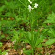 Narrow or Sword Leaved Helleborine (Cephalanthera longifolia) 11.5.17 (6)