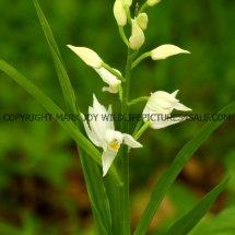 Narrow or Sword Leaved Helleborine (Cephalanthera longifolia) 11.5.17 (7)