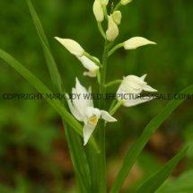Narrow or Sword Leaved Helleborine (Cephalanthera longifolia) 11.5.17 (8)
