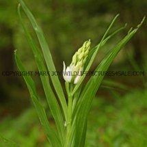Narrow or Sword Leaved Helleborine (Cephalanthera longifolia) 11.5.17 (9)
