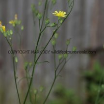 Nipplewort (Lapsana communis) (1)