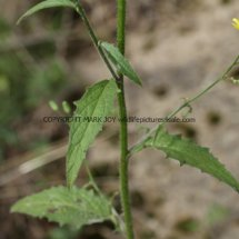 Nipplewort (Lapsana communis) (2)