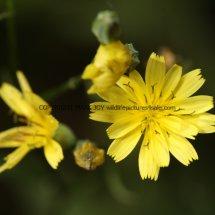 Nipplewort (Lapsana communis) (3)