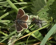 Northern Brown Argus 1 (1)