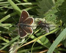 Northern Brown Argus 1 (1)