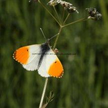 Orange Tip (46)