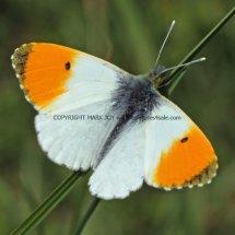 Orange Tip (12)