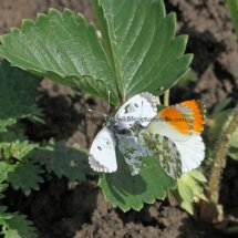 Orange Tip male and female (13)