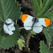 Orange Tip male and female (2)