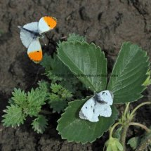 Orange Tip male and female (3)