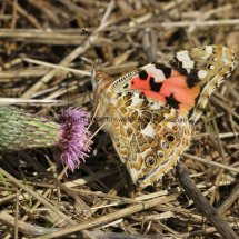 Painted Lady (14)