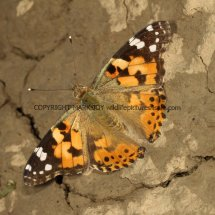 Painted Lady (3)