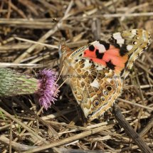 Painted Lady (5)