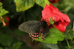 Pale-spotted Swallowtail, Papilio erostratus