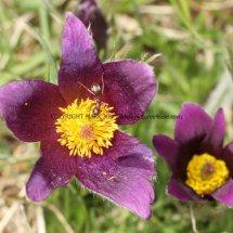 Pasque Flowers 3 (3)