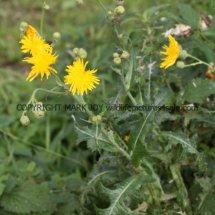 Perennial Sowthistle (Sonchus arvensis) (1)