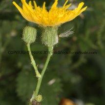 Perennial Sowthistle (Sonchus arvensis) (2)