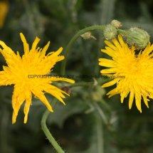 Perennial Sowthistle (Sonchus arvensis) (3)