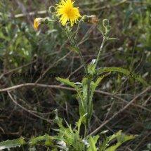 Perennial Sowthistle (Sonchus arvensis) (4)