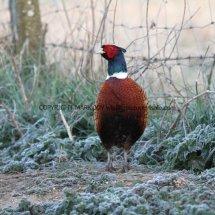 Pheasant (13)