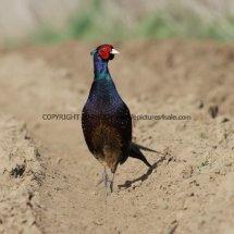 Pheasant (14)