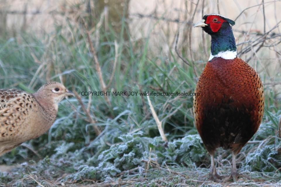 Pheasant (16)