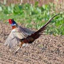 Pheasant (18)