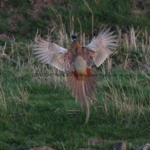 Pheasant (20)
