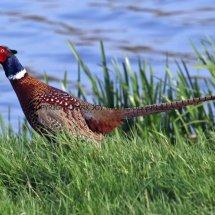 Pheasant (21)