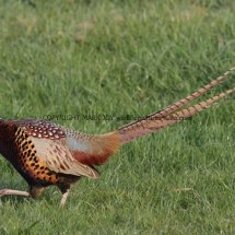 Pheasant (22)